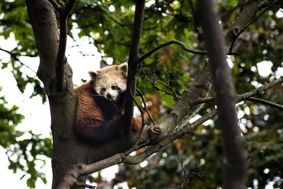 panda-hd-photos