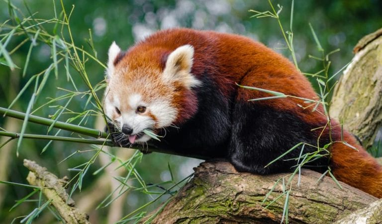 10 Reasons Red Panda Cubs Are Very Beautiful of All Animals – 10+ Photos