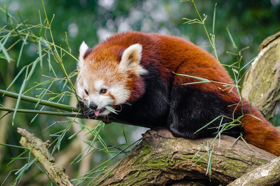 panda-hd-photos2