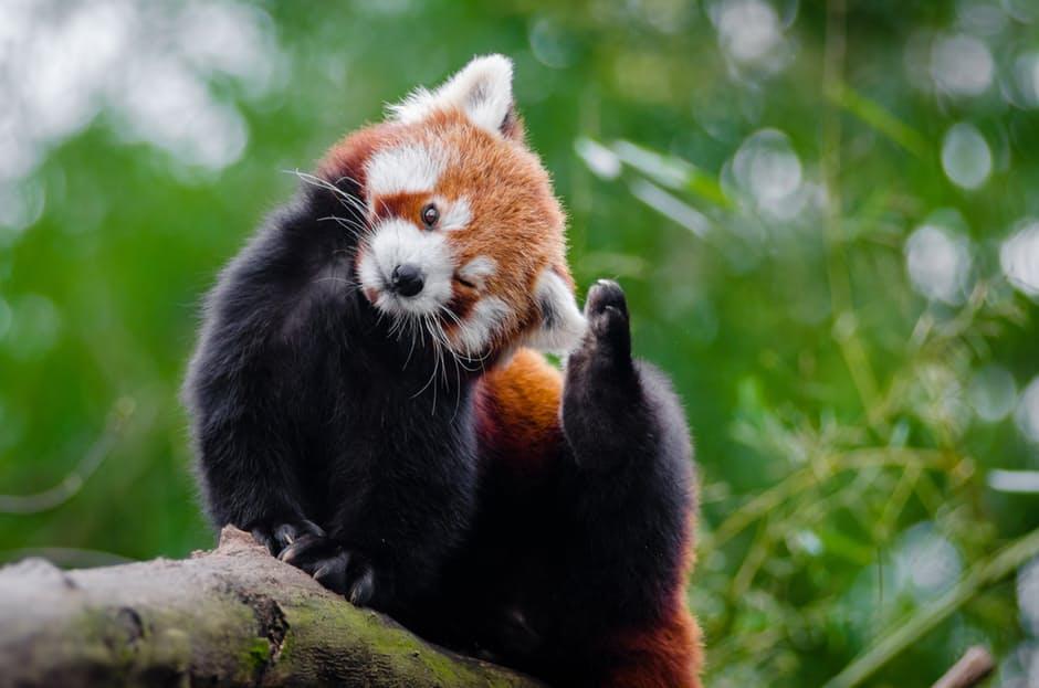 panda-hd-photos4