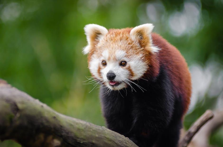panda-hd-photos7