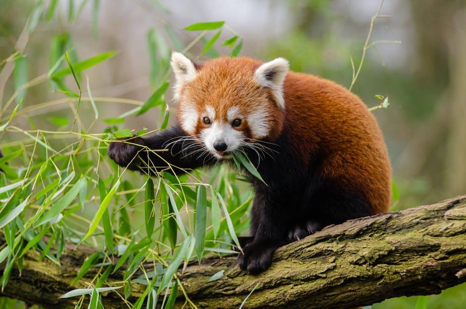 panda-hd-photos8