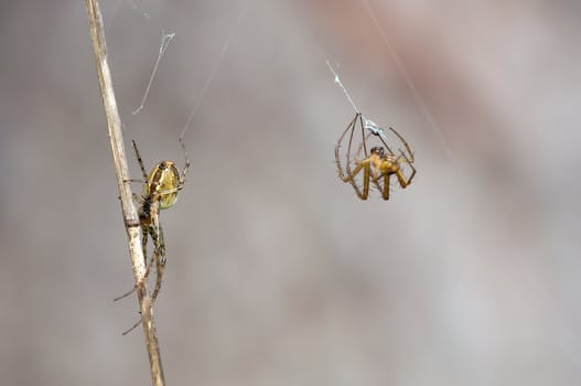 autumn-spiders-metellina-segmentata-female-males-60694