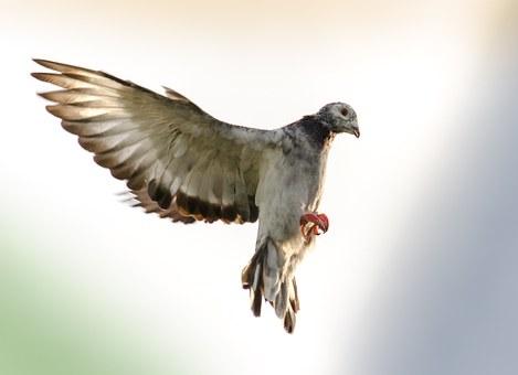 domestic-pigeons-202476__340