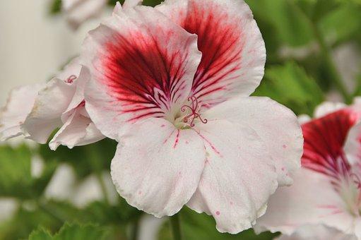 geranium-1695568__340