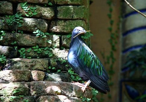 nicobar-pigeon-58355__340