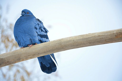 pigeon-292657__340