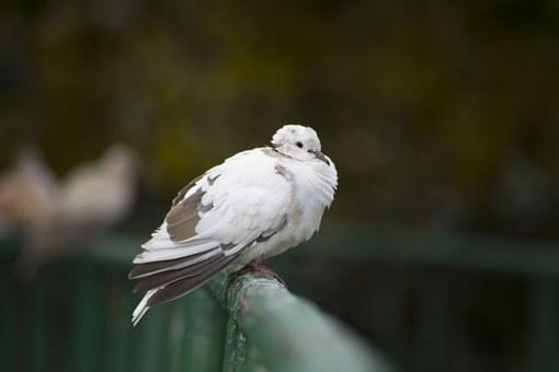 pigeon-804426__340