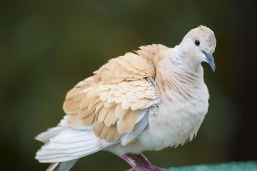 pigeon-804427__340