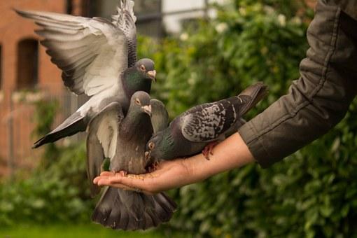 pigeon-943273__340