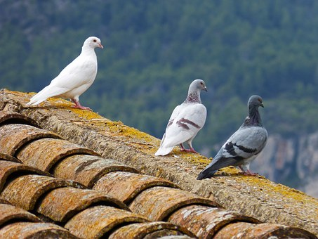pigeons-1010071__340