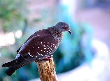 speckled-pigeon-398930__340