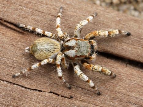 spider-hairy-arachnid-adult-45887