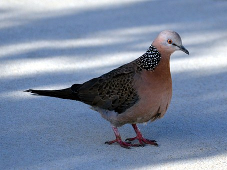 spotted-dove-379587__340