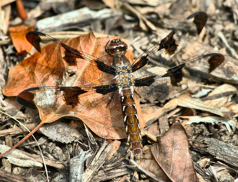 brown-dragonfly-52335_960_720-2.jpg