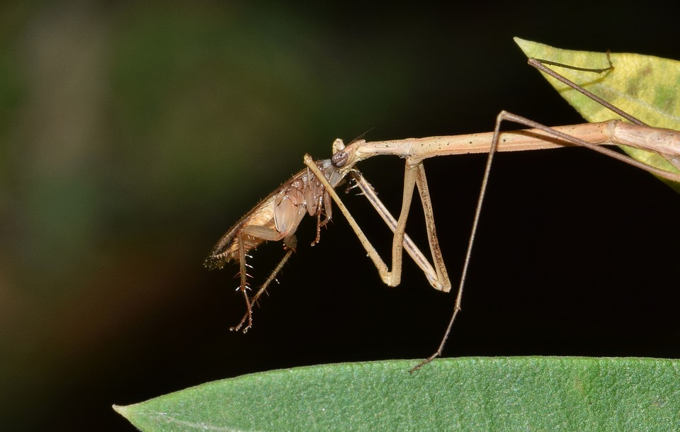 stick-insect-1599194_960_720.jpg