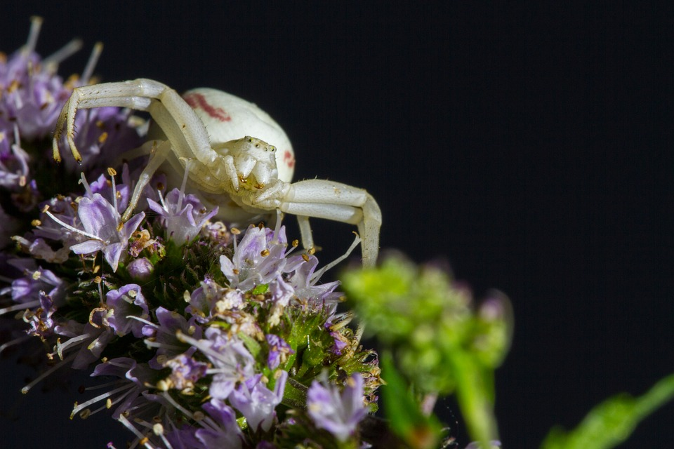 goldenrod-crab-spider-2491868_960_720.jpg