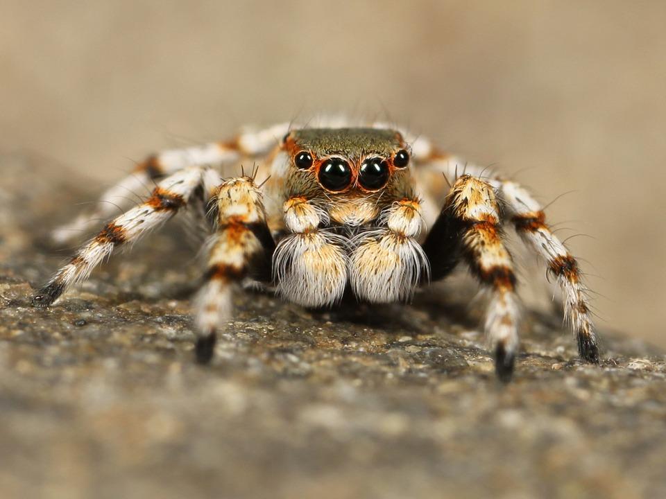 jumping-spider-111075_960_720.jpg