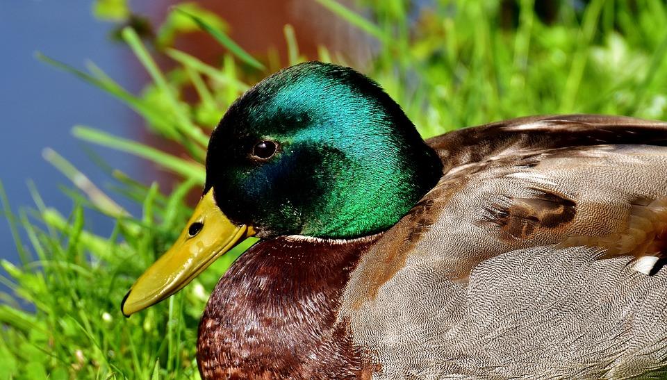 duck-2399770_960_720.jpg