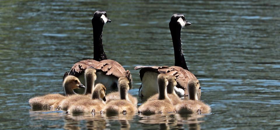 geese-2494952_960_720.jpg