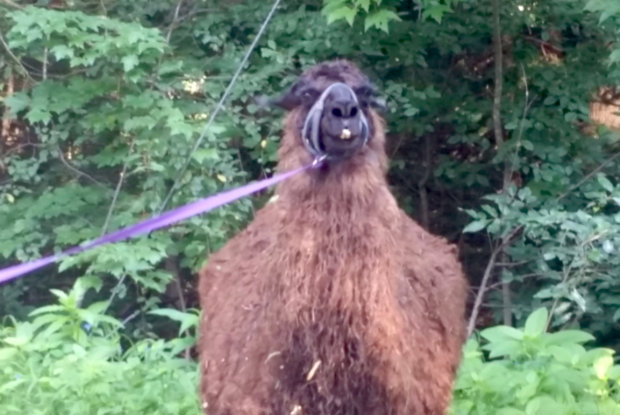 Social Media's Efforts Re-unite The Llama With Its Owner