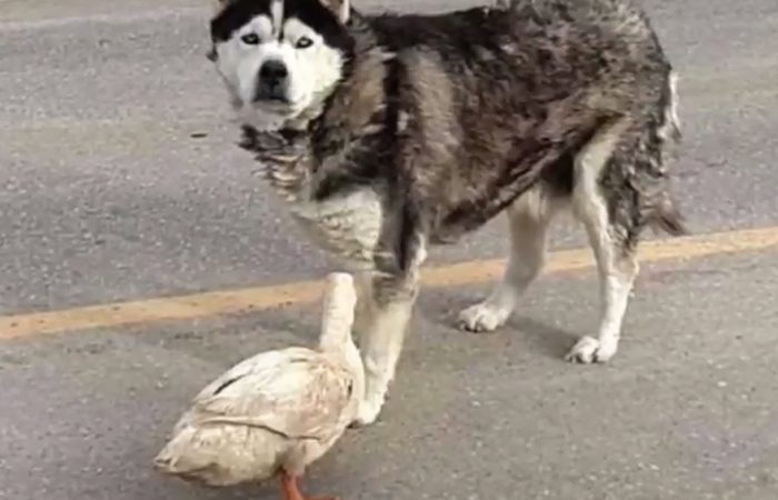 Unlikely Friendship Between A Dog And A Quacker Surprises A Small Town of Minnesota