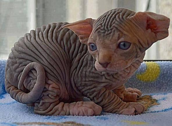 Ugliest Cat Alive