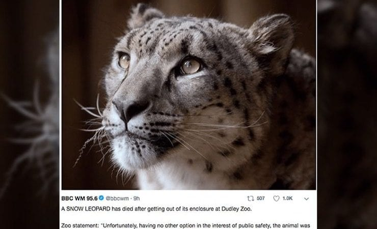 Rare Escaped Snow Leopard Shot By Zookeepers Tragically in UK