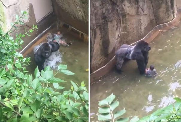 Why Was Harambe Gorilla Killed Cincinnati Zookeeper Reveals Finally
