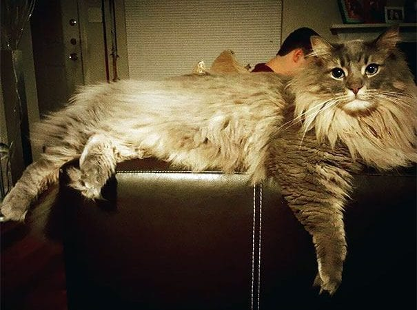 30+ Massive Cats of The World – Giant Maine Coons Wishing You New Year