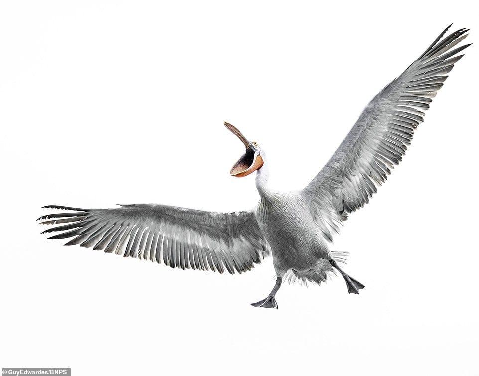 angry greek pelican