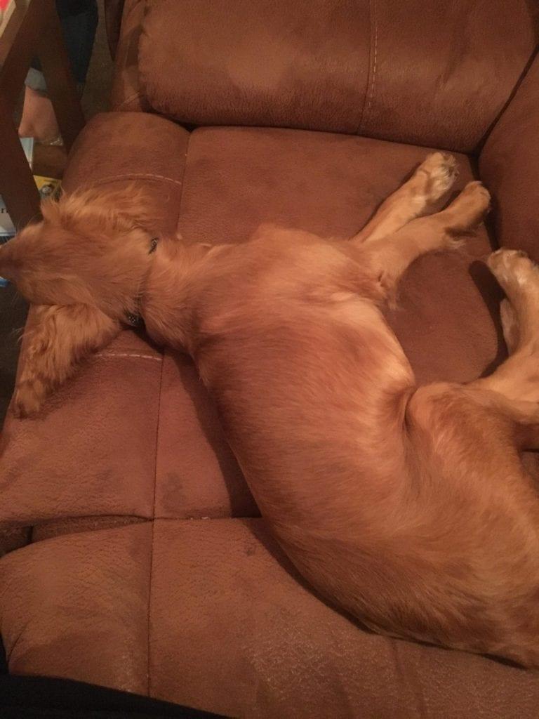 dog color matching sofa