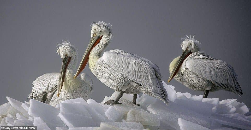 furious pelican