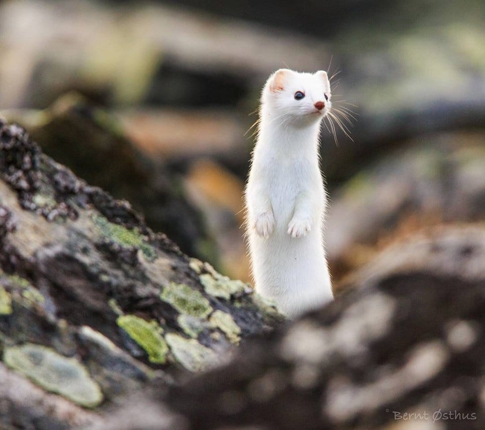 amazing stoat