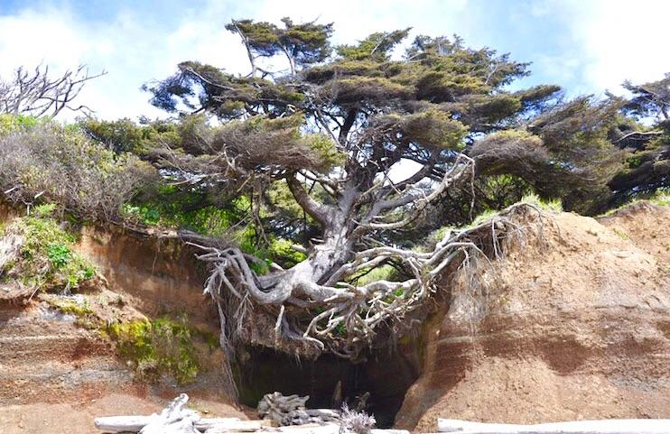 coasta erosion tree root