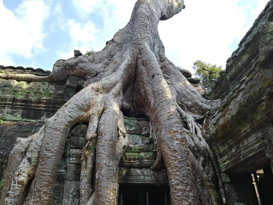 massive tree combodia