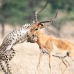 cheetah and impala fight