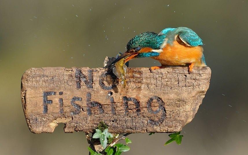 kingfisher eating fish