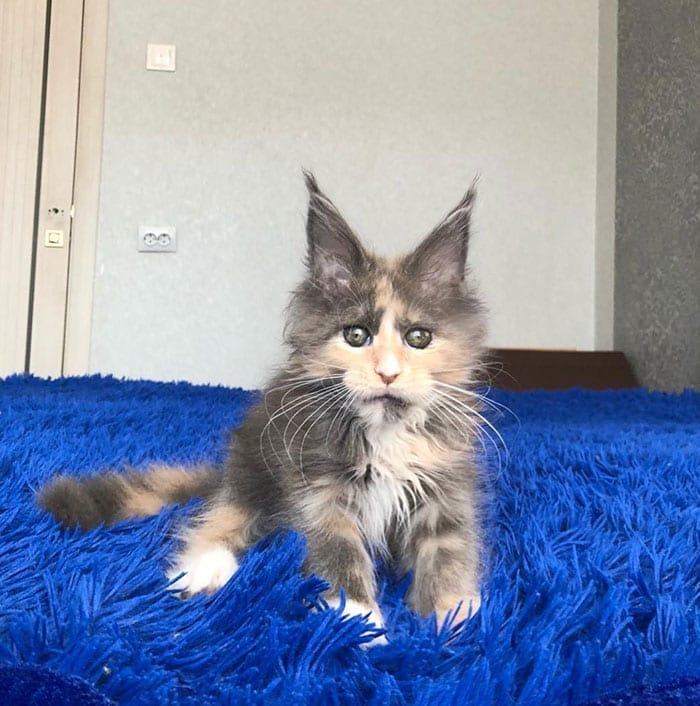70+ Cute Maine Coons Kittens That Are Absolutely Adorable