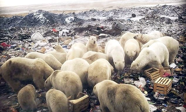 Breaking: 50 Polar Bears Invade Russian Archipelago