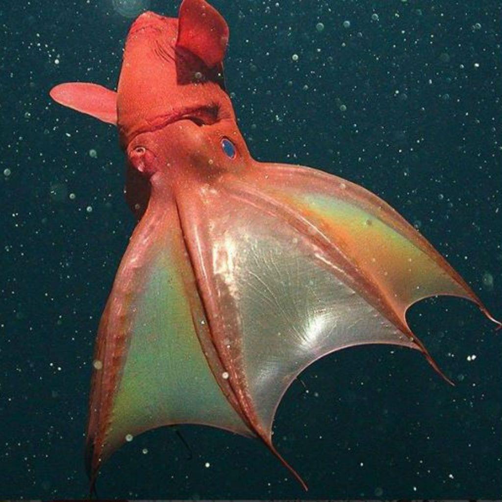 vampire-squid