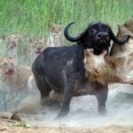 deadly animal fights
