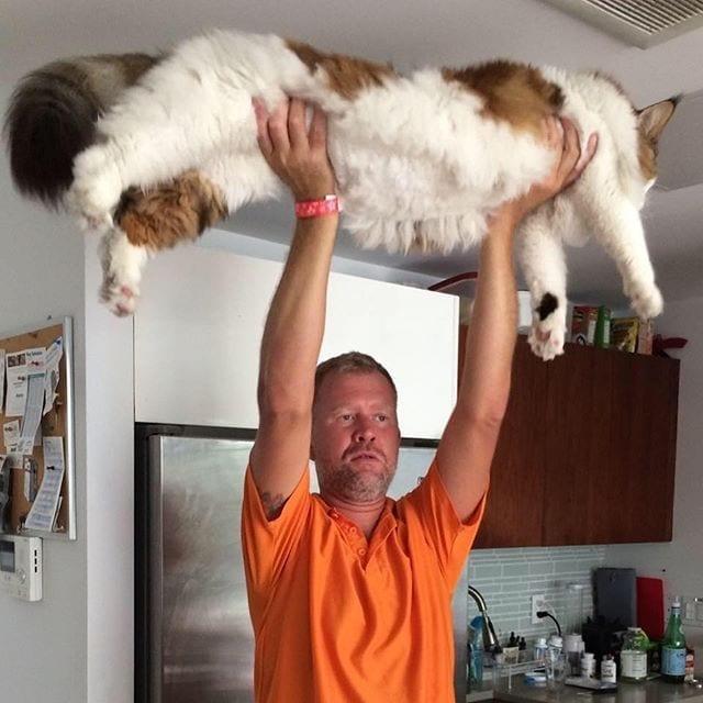 Meet Samson The Largest Domestic Cat Alive