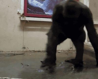 dancing gorilla in zoo gif