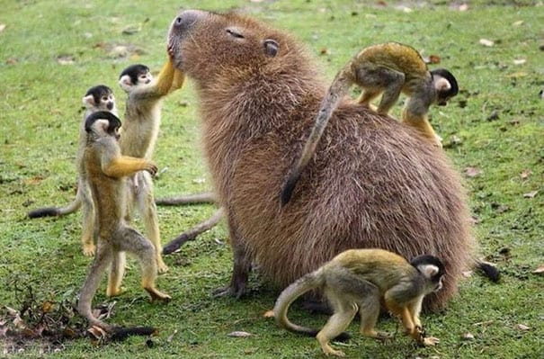capybaras pics with words