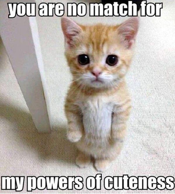 kitten memes 2