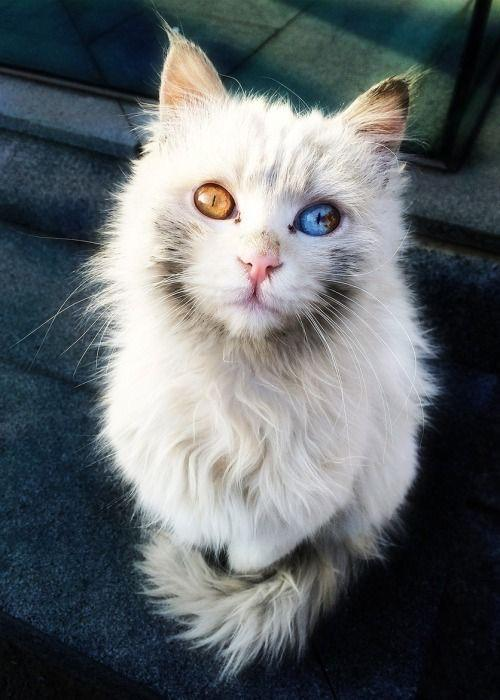 facts about fire and ice cat