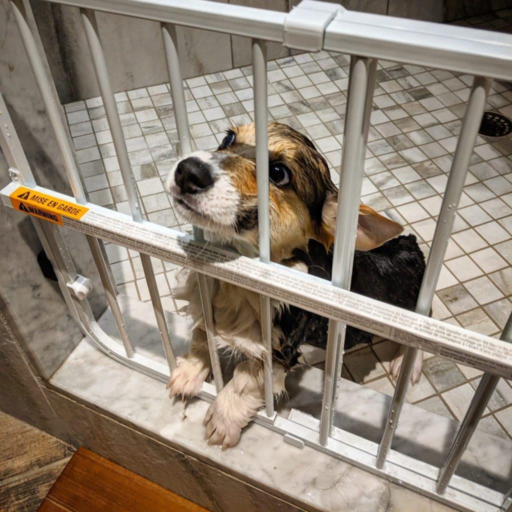 new photos of corgi husky pup