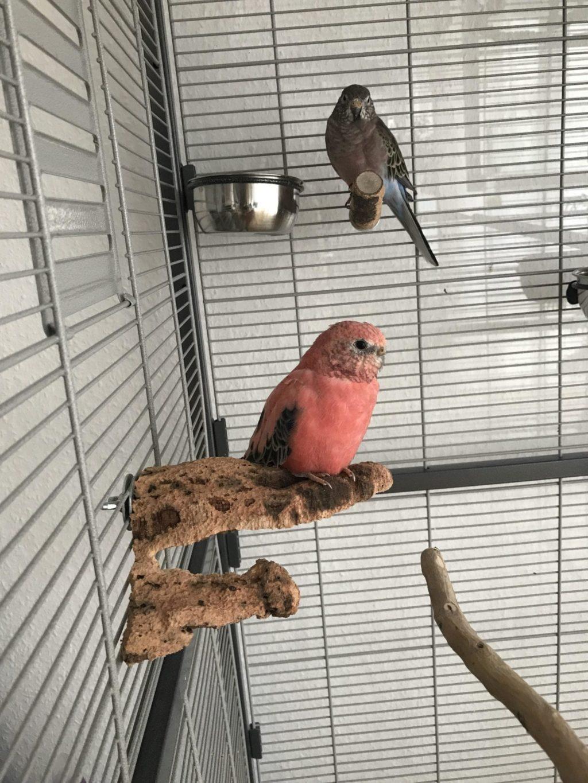 australian parrots 2020