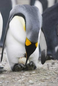king penguin pics